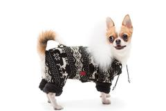 Funny dog wearing wearing winter outfit - stock photo