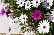 Stock Photo of osteospermum flowers at sunny day