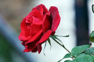 Wet red rose with drops Stock Photos