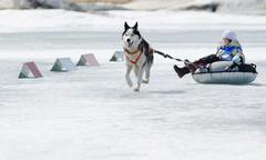 Mushing at baikal fishing 2012 Stock Photos