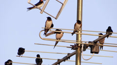 Swallows on a tv antenna Stock Footage