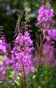 Purple alpine fireweed closeup in last summer Stock Photos