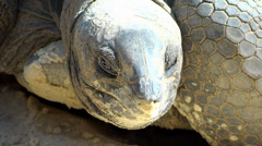 Giant tortoise close up Stock Footage