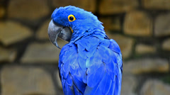 Hyacinth macaw Stock Footage