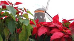 Christmas star or Poinsettia Stock Footage