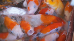 Colorful koi carps in pond. Stock Footage