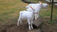 Stock Video Footage of goats in farm