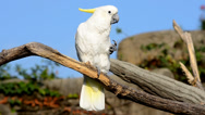 Stock Video Footage of cockatoo