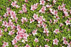 Azalea background Stock Photos