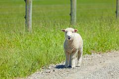 lamb on the lam - stock photo
