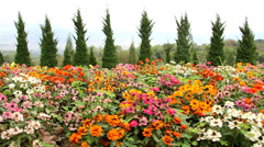 Beautiful zinnias  Stock Footage