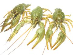 Green river lobster Stock Photos
