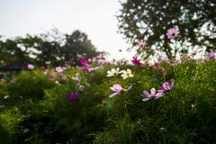 Pink cosmos flower in the garden Stock Photos