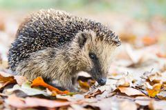 Hedgehog in autumn leaves Stock Photos