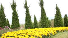 Field of golden marigolds  Stock Footage