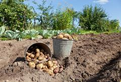 Stock Photo of first harvest of organically grown new potatoes