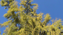 Wide green branches of larch treetop Stock Footage