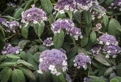 hydrangea aspera - stock photo