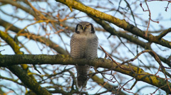 Hawk Owl Stock Footage