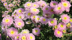 pink flowers blooming - stock footage