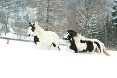 Batch of irish cobs running in winter Stock Photos
