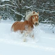 beautiful haflinger with long mane running in the snow - stock photo