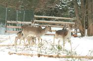 Stock Photo of herd of deer together in winter