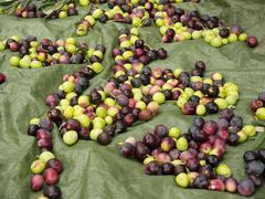 Fresh ripe olives - stock photo