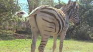 Stock Video Footage of Zebra tail dance loop