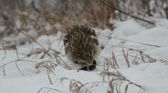 Short-eared owl Stock Footage
