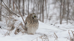 Short Eared Owl Stock Footage