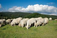 Sheeps Stock Photos