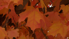 Fall Maple leaves on the forest ground in autumn Stock Footage
