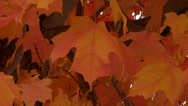 Stock Video Footage of Fall Maple leaves on the forest ground in autumn