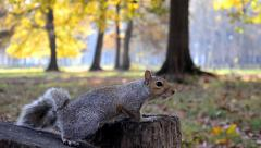 Squirrels Stock Footage