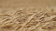 Stock Video Footage of Golden wheat field in wind
