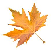 autumn leaf on a white background - stock photo