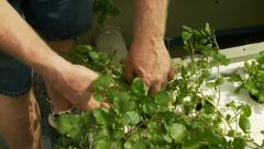 Gardener tending to Aquaponics Garden Stock Footage