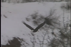 American Bald Eagle Soars in Winter Stock Footage