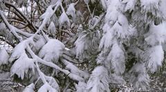 Winter Scenes Pine Tree Stock Footage