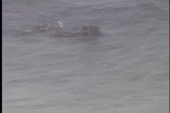 Sea Otter in cold icy water - stock footage