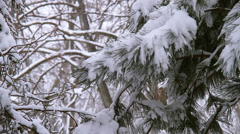 Winter Scenes Pine Tree CU Stock Footage
