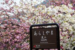 Beautiful sakura place for adv or others purpose use Stock Photos