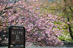 Beautiful sakura place for adv or others purpose use - stock photo