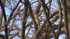 Syrian woodpecker on a tree, bird looking for food, park, forest, woods, winter Stock Footage