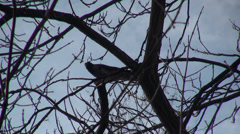 Single crow bird eating on a tree branch, raven, winter, cloudy sky Stock Footage