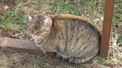 Stray striped cat, in the garden, cute stray animal, beautiful pet, camouflage Stock Footage