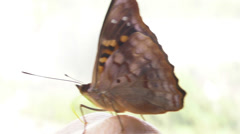 A butterfly Closeup Stock Footage