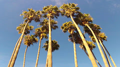 Stock Video Footage of Low Angle- Cluster Of Palm Trees Rustling In Sea Breeze