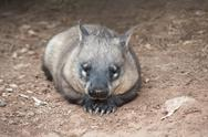 Stock Photo of native australian wombat